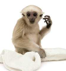 Young Pileated Gibbon, 1 year old, Hylobates Pileatus, sitting