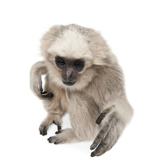 High angle view of Young Pileated Gibbon, sitting