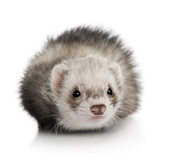 Portrait of young ferret in front of white background