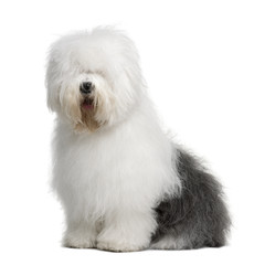 Fototapete - Old English Sheepdog, sitting in front of white background