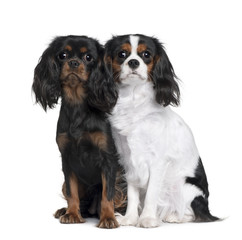 Front view of Two Cavalier King Charles Spaniels, sitting