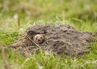 Weasel in Molehill