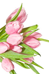 Bunch of pink fresh tulips on white background