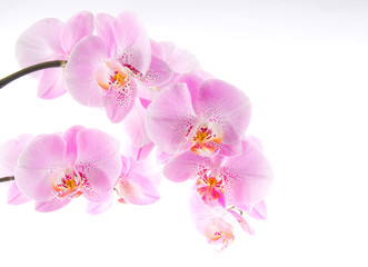 Printed roller blinds Orchid Orchidee