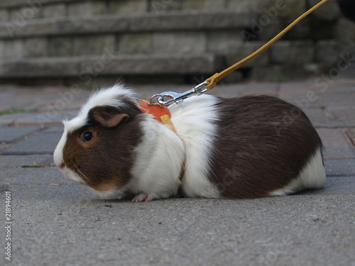 Guinea pig on leash stock photo and royalty free images on fotolia guinea pig on leash publicscrutiny Image collections