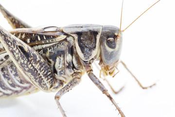 Grasshoper close-up