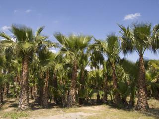 campo palmeras