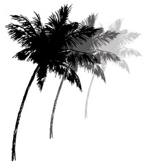 Three black silhouettes of palm trees. Vector illustration