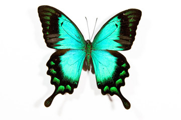 Green and black butterfly Papilio lorquinianus isolated