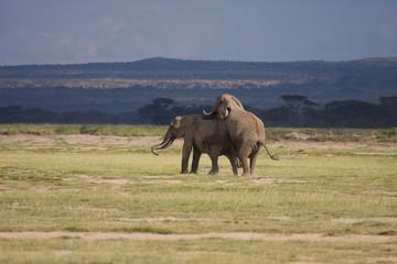 Elefanti in accoppiamento