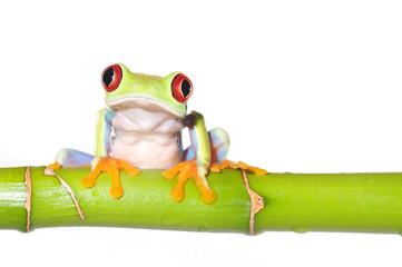 red eyed tree frog on bamboo