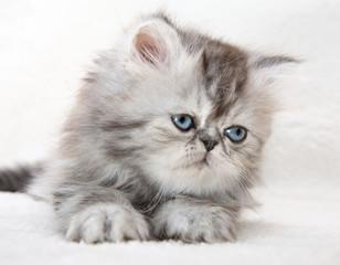 Lovable fluffy kitten