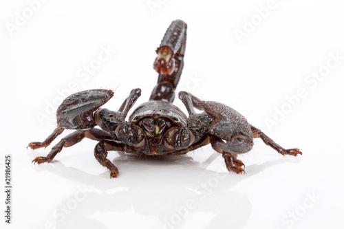 skorpion von vorne stockfotos und lizenzfreie bilder auf. Black Bedroom Furniture Sets. Home Design Ideas