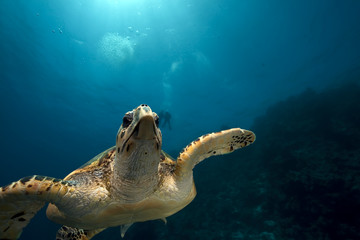 hawksbill turtle and ocean