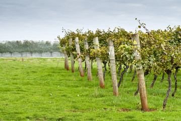 Rows of supported and trained vines in Tasmania, Australia