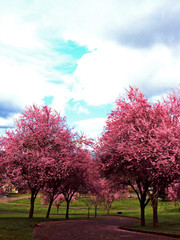 Pink Tress and Blue Skies