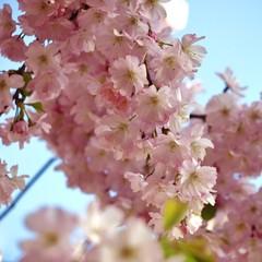 japanese cherry tree in spring
