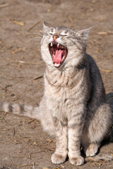 Cat with open mouth