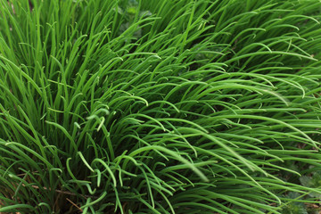 texture of chives