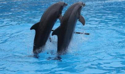 Photo sur Aluminium Dauphins Dolphins performing in Loro park