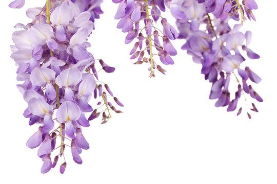 wisteria closeup over white