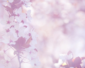 elegant soft cherry blossom background