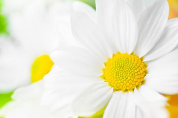 Close up of white daisy