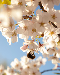 Kirschbaumblüten mit Hummel