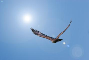 Adler Im Sturzflug