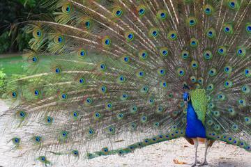peacoch