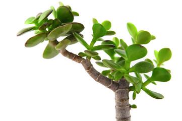 Photos illustrations et vid os de plante grasse for Artichaut plante grasse