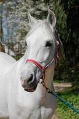 Pferd - Schimmel
