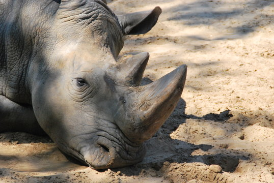 Portrait de rhinoceros