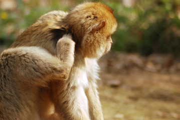 A monkey is scratching his fleas