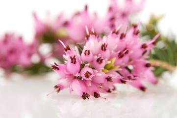 Macro of Heather flowers