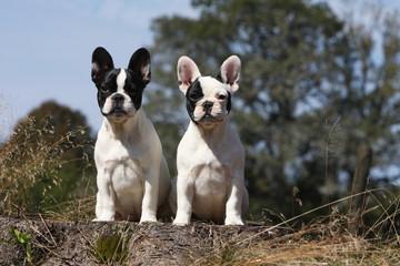Poster Bouledogue français deux jeunes chiens de race bouledogue français assis