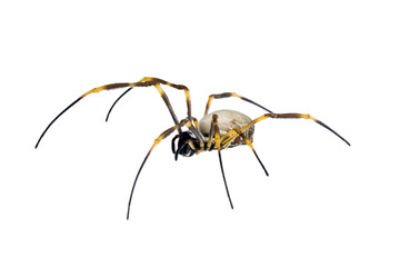 Golden Orb-weaving Spider, Nephila maculata