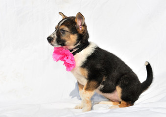 Cute puppy with rose bow is sitiing on counterplane