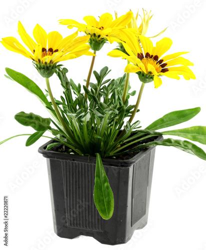 pot de gazania jaune fleur soleil fond blanc photo libre de droits sur la banque d 39 images. Black Bedroom Furniture Sets. Home Design Ideas