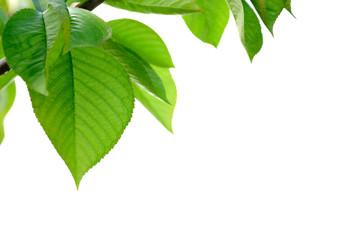 feuilles vertes de cerisier sur fond blanc