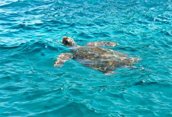 Caretta caretta swimming