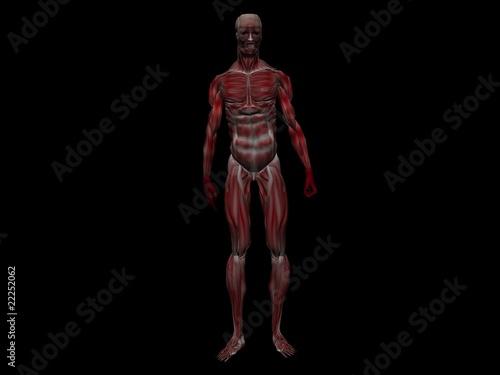 anatomie männliche menschliche Muskeln\