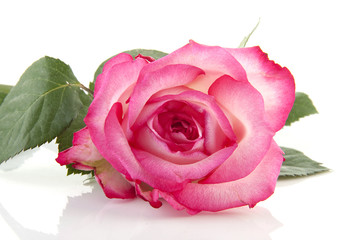 pink rose in closeup over white background
