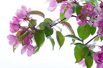 Fototapete - Kirschblüte rosa