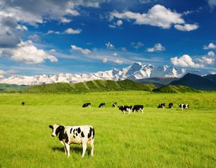 Fototapete - Grazing calves