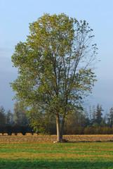 alberi 510