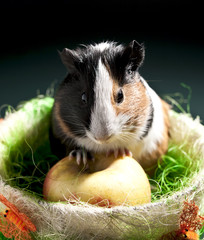 Funny guinea pig into the nest with apple fruit