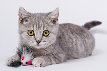 Grey Kitten 01