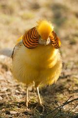 gorgeous golden pheasant