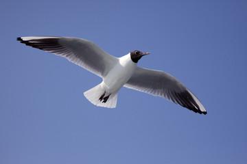 青空を飛ぶ夏羽のユリカモメ